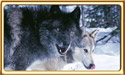 Black Phase Gray Wolf and Gray Wolf