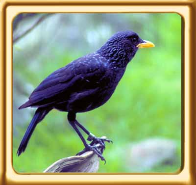 Blue Whistling Thrush